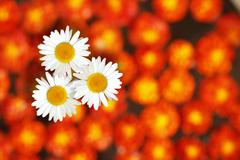 Three white daisies standing amidst marigold flowers in the background Stock Photos