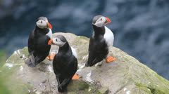 Three Puffins on a cliff, Mykines, Faroe Island Stock Footage