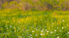 Wild flowers on a background of green grass(camera slider) - stock footage