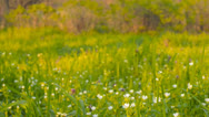 Stock Video Footage of Wild flowers on a background of green grass(camera slider)