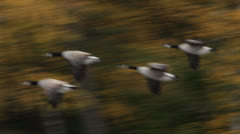 Flying geese in autumn - stock footage