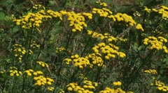 Common Tansy (Tanacetum vulgare) blooming in summer breeze Stock Footage