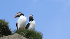 Bottom view of two puffins, Mykines, Faroe Islands Stock Footage
