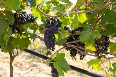 grapes for wine making, grape growing. - stock photo