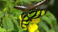 Butterfly Malachite pollinating yellow flower Siproeta Stelenes Stock Footage