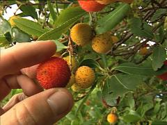 Strawberry tree Stock Footage