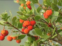 Strawberry tree in and out of focus Stock Footage