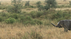 Young elephants walking, Serengeti national park, Tanzania Stock Footage