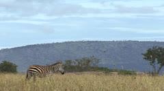 Zebras and wildebeest walking in Zerengeti, Tanzania Stock Footage