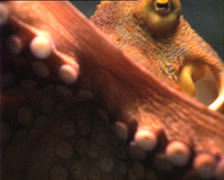 OCTOPUS in aquarium tentacles Stock Footage