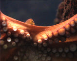 Stock Video Footage of OCTOPUS in aquarium zoom out