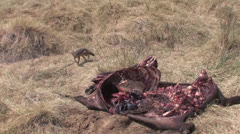 Fox examines carcass of water buffalo - stock footage