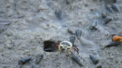 Female siddler crab eating food near hole at mangrove forest, Thailand. Stock Footage
