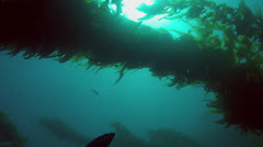 California Kelp Forest Backlit - stock footage