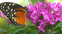 Butterfly Tiger Longwing Heliconius hecale pollinating flower Stock Footage
