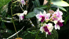 Orchid - Phalaenopsis - flowers Stock Footage