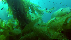 California Kelp Forest School of Fish Stock Footage