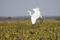great egret (ardea alba) - stock photo
