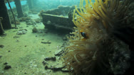 Stock Video Footage of clown fish at the ship wreck