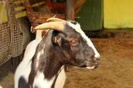 Stock Photo of south african indigenous veld goat close-up portrait