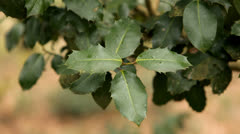 Holly Leaves Stock Footage