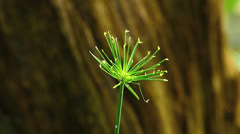 Water plant Cyperus prolifer Cyperaceae (Cyperus papyrus, common name--nana) Stock Footage