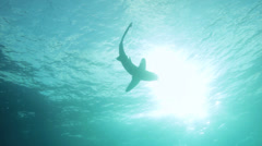 Silhouetted oceanic shark near the surface Stock Footage