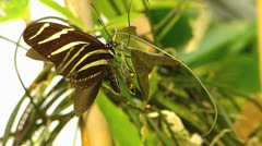 Butterfly Zebra Longwing flying and try to lay eggs Stock Footage