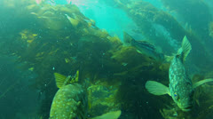 California Kelp Forest Scuba Diver Silhouettes Stock Footage