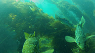 Stock Video Footage of California Kelp Forest Scuba Diver Silhouettes