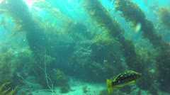 California Kelp Forest Swim-Through Long Stock Footage