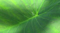 Big leaf as background Stock Footage