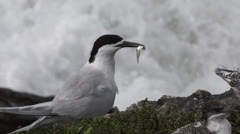 White Fronted Tern Colony on the west coast of New Zealand. Stock Footage