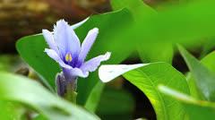 Water plant Eichhornia azurea Pontederiaceae Tropical Sub-tropical America Stock Footage