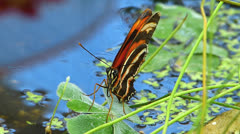 Butterfly Tiger Longwing Heliconius hecale staying on water Stock Footage