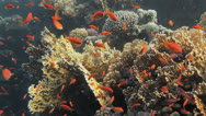 Stock Video Footage of colorful coral reef coverd by anthis