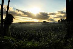 dusk over banana plantation - stock photo