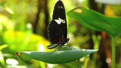 Stunning Butterfly Postman Heliconius melpomene Stock Footage