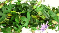 Passiflora growing Stock Footage