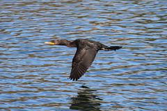 double-crested cormorant in flight - stock photo