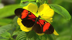 Butterfly Heliconius melpomene hecales longwing pollinating flower Stock Footage