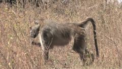 Baboon walks into grass and blends Stock Footage