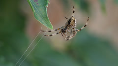 Macro close-up, spider on strands of web swaying in wind, sun emerges. HD 1080p. Stock Footage