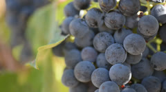 Red Grapes Close Up on the Vine Blowing in the Wind Stock Footage