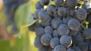 Stock Video Footage of Red Grapes Close Up on the Vine Blowing in the Wind