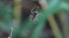 Macro, spider moving on dew-covered web swaying in wind 2. HD 1080p 24fps. Stock Footage