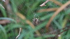 Macro, colourful spider sitting on center of large, dew-covered web. HD 1080p24. Stock Footage