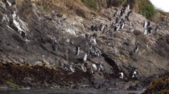 Chile, Chiloe, Puñihuil Wildlife Sanctuary, Patagonia Penguins Stock Footage