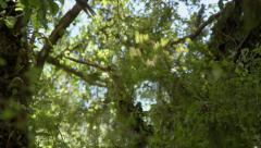 Kereru or NZ Pigeon on tree then flyes off. Stock Footage