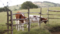 Chile, Chiloe, Cows Grazing Near Fence Stock Footage